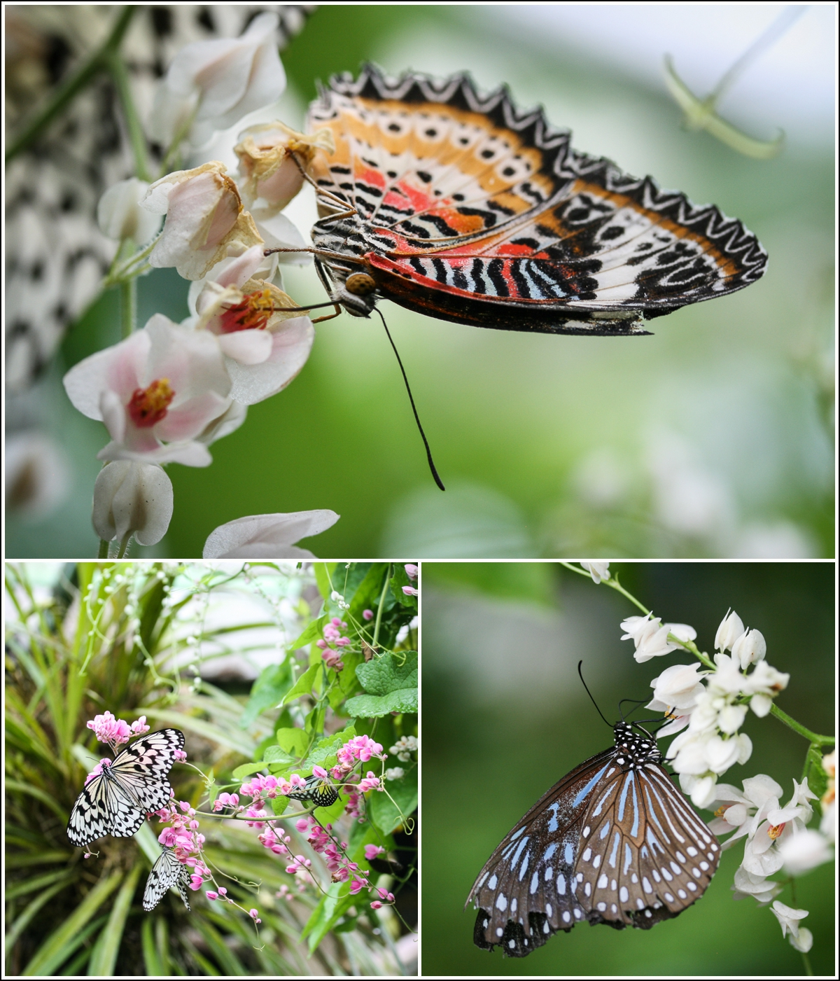 penang-butterfly-farm1