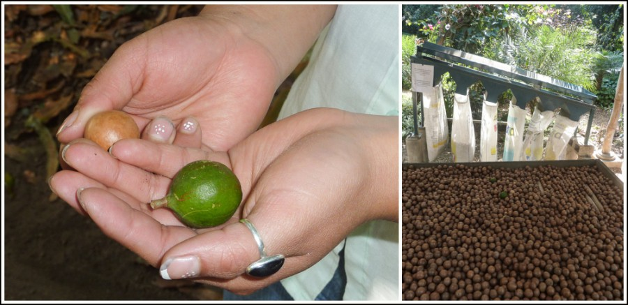 guatemala-macadamia-farm4