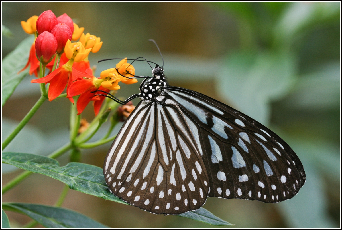 Cameron-Highlands-Malaysia-butterfly