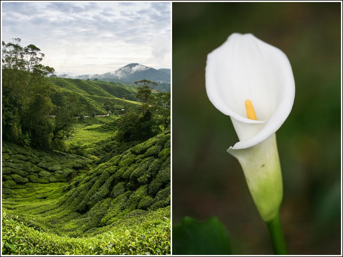 Cameron-Highlands-Malaysia2