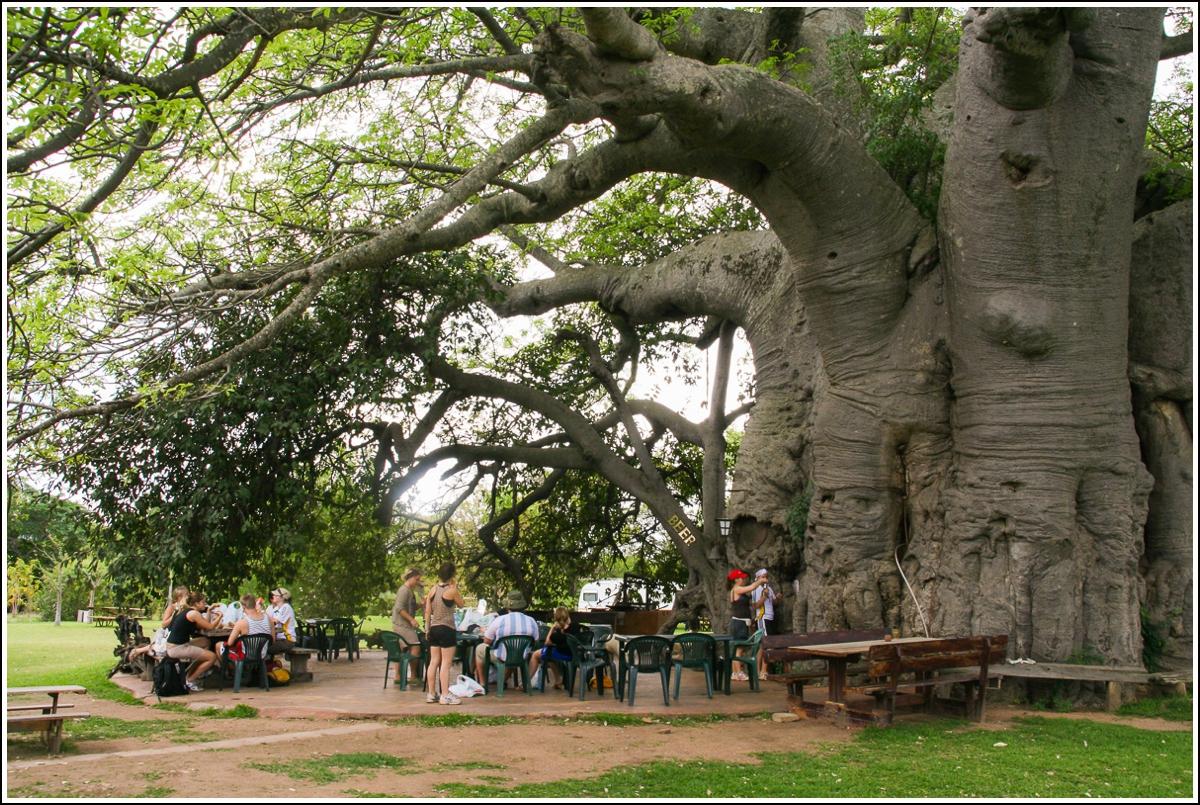 baobab-tre-sør-afrika3