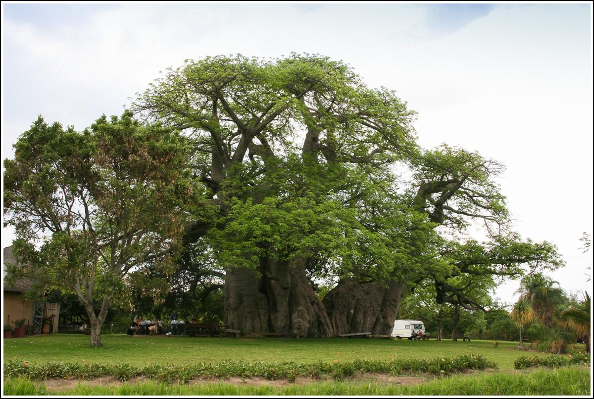 baobab-tre-sør-afrika4