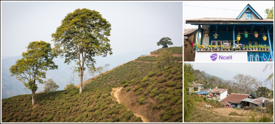 Ilam-Nepal-tea-landscape