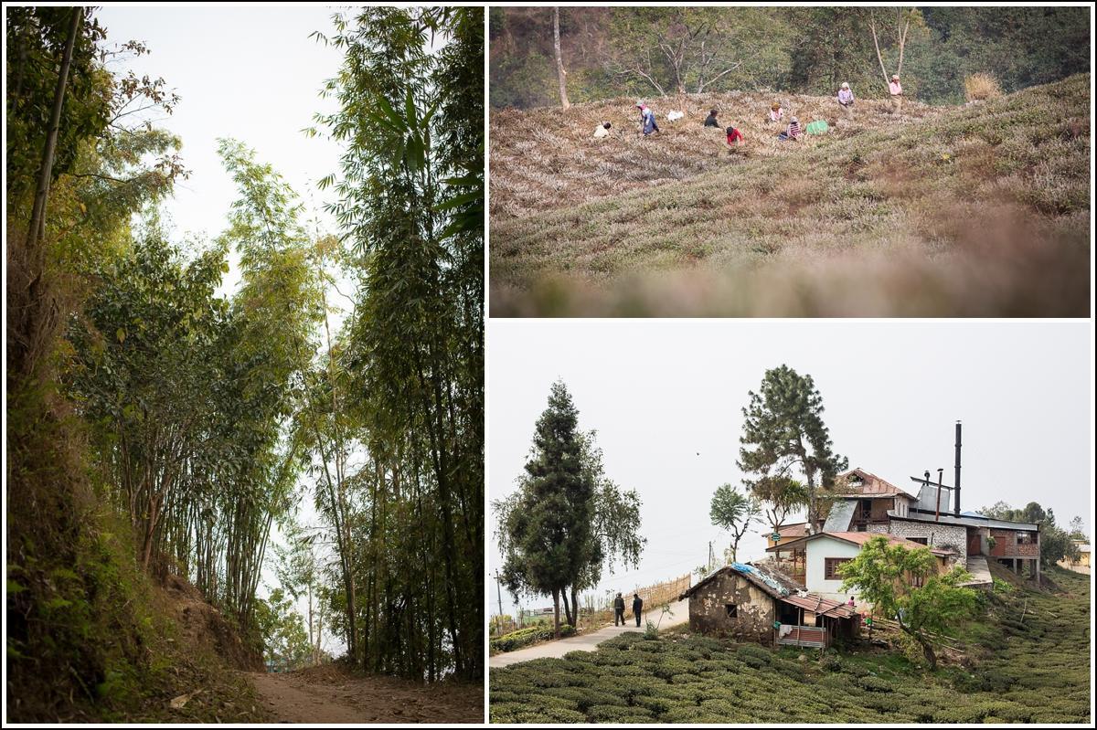 Ilam-Nepal-bamboo-tea