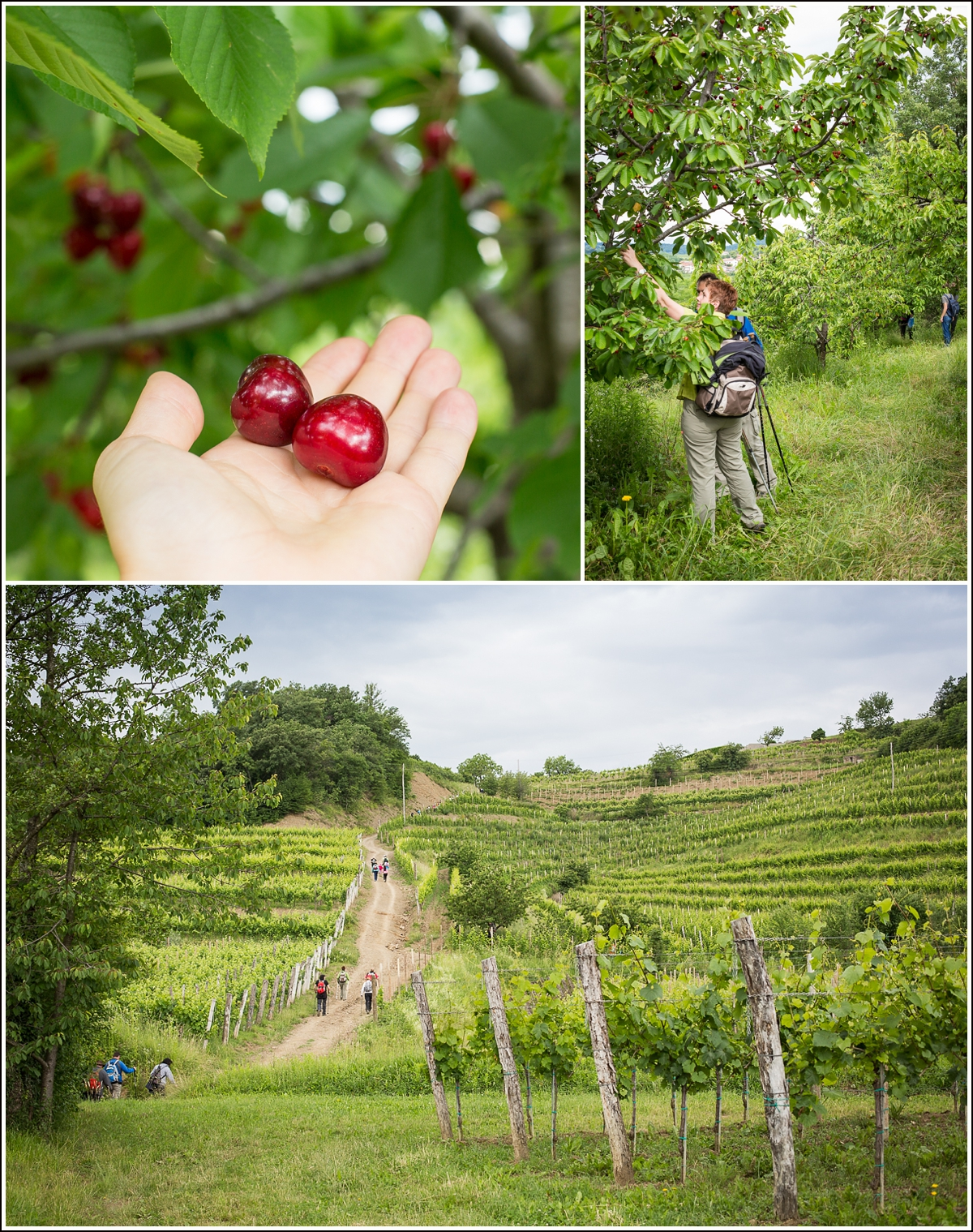 Brda-Slovenia-cherry-walk