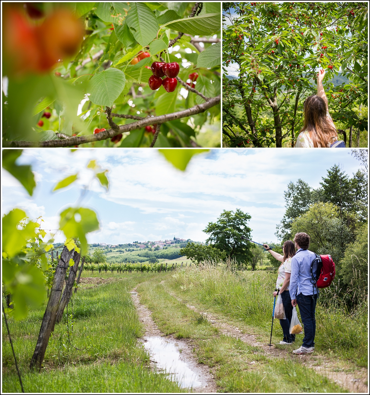 Brda-Slovenia-cherry-picking