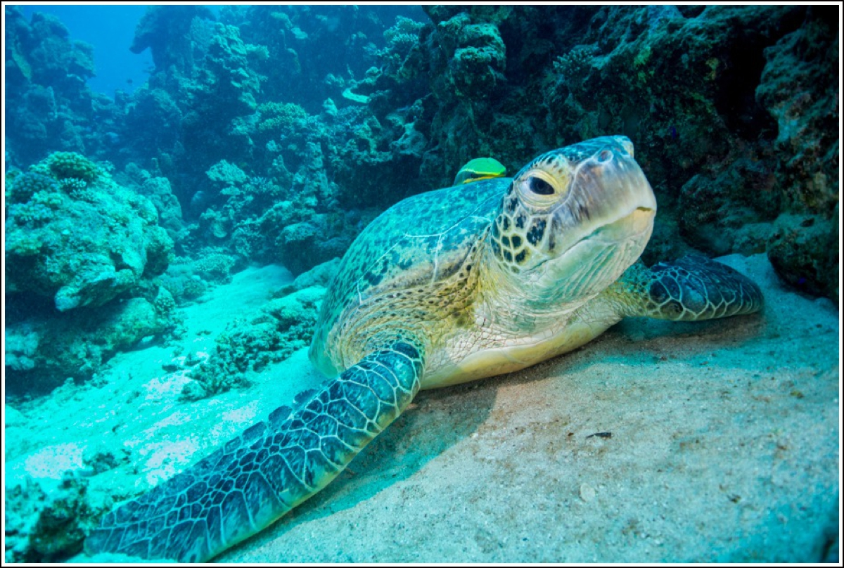 Turtle-Red-Sea-Colona-Divers2