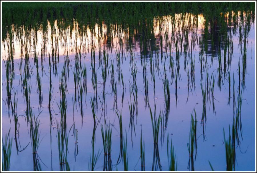Ubud-rice-paddies5