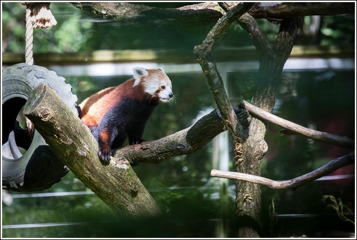 nordens-ark-rød-panda