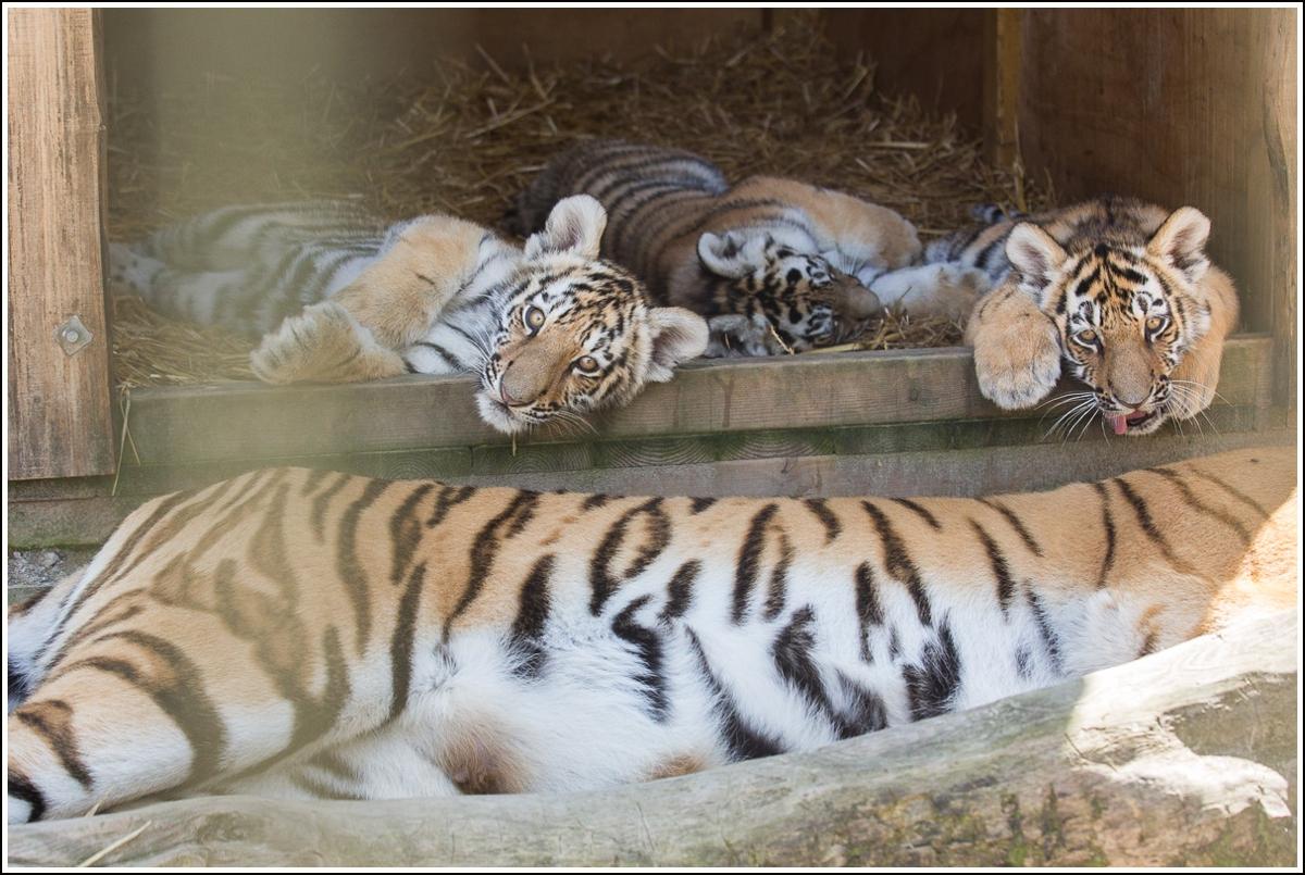 nordens-ark-tigerunger