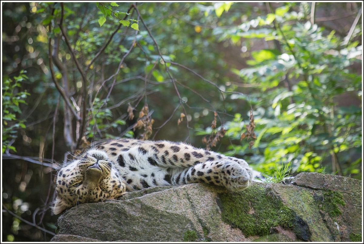 nordens-ark-snøleopard