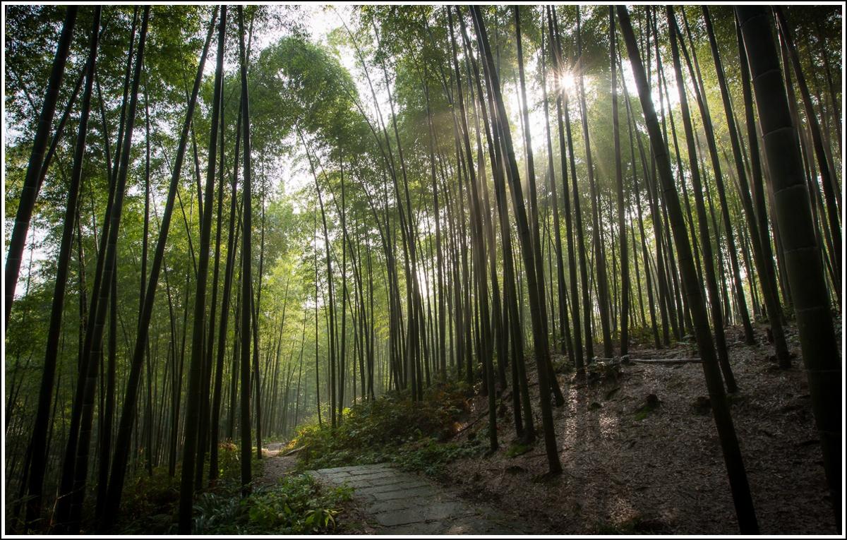 Den største og eldste bambusskogen i Kina