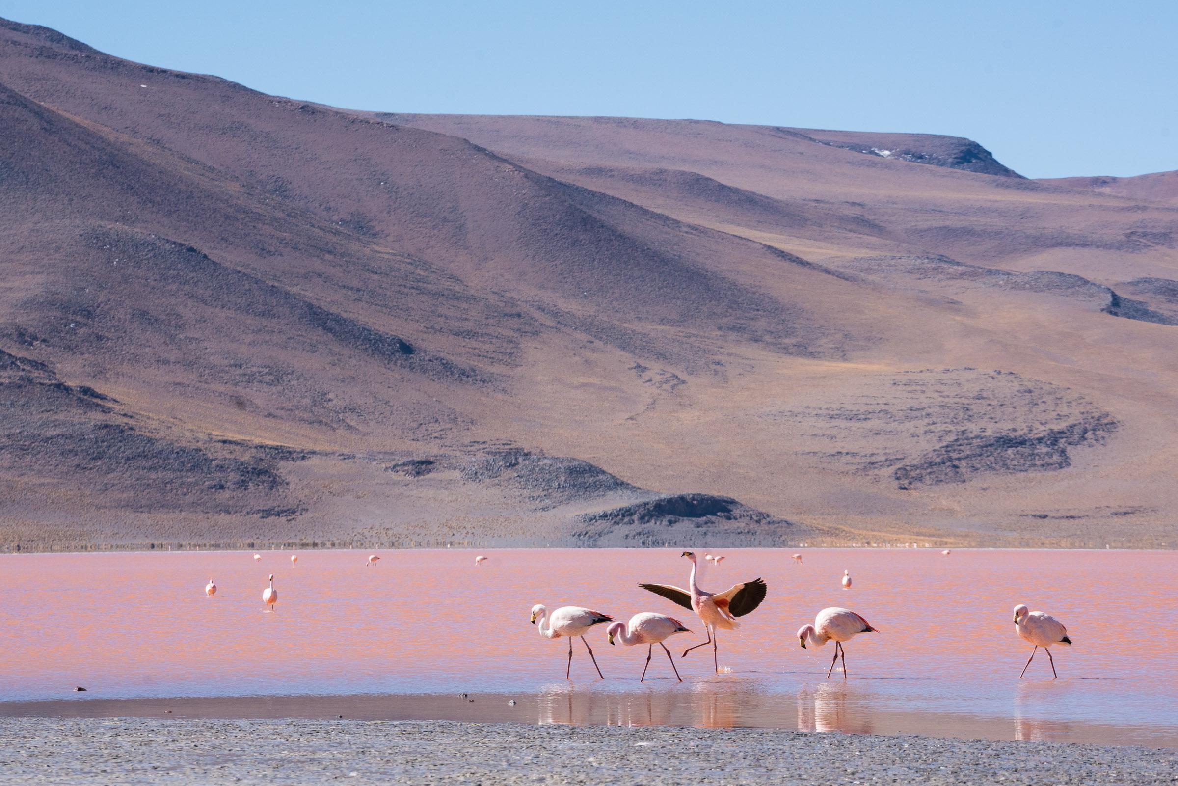 hvor store er flamingoer