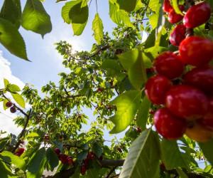 Kirsebærvandring i Brda Slovenia